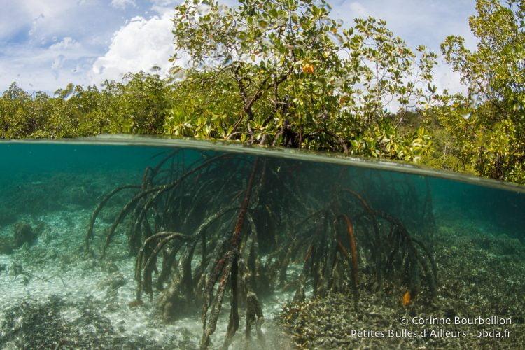 La mangrove. Raja Ampat, Papouasie occidentale, Indonésie, janvier 2015.