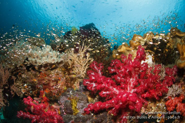 The reef is alive with life. Raja Ampat, West Papua, Indonesia, January 2015.