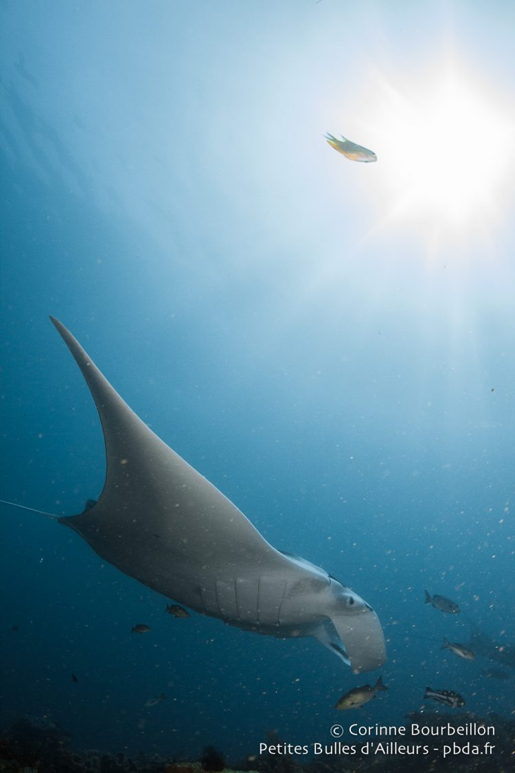Manta to Blue Magic. Raja Ampat, West Papua, Indonesia. January 2015.