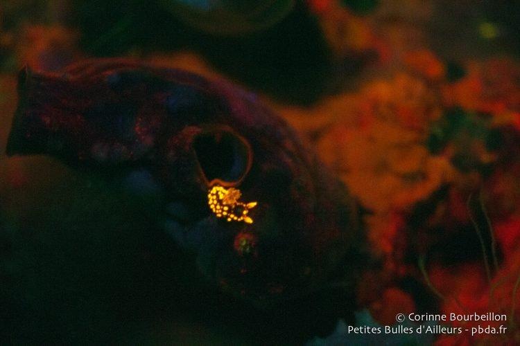 Un nudibranche devenu jaune électrique sous la lumière bleue. Raja Ampat, janvier 2015.
