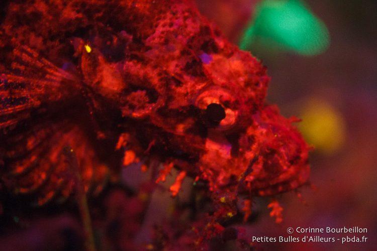 Un poisson-scorpion devient rouge flamboyant sous la lumière bleue. Raja Ampat, janvier 2015.