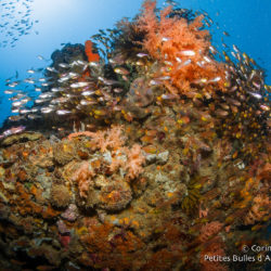 Coral potato and glass fish. Sekotong Bay, Lombok, Indonesia, July 2015.