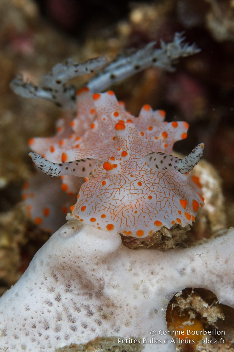 This nudibranch is taken for a bull! (Sekotong Bay, Lombok, Indonesia, July 2015.)