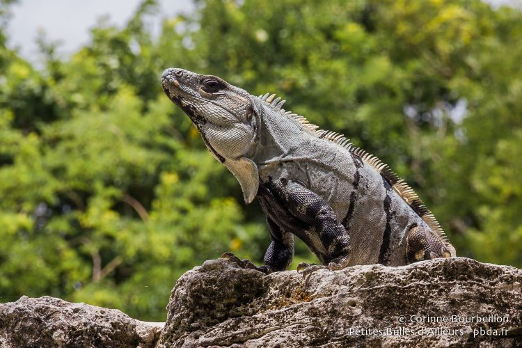 An iguana watches over the ruins of the pyramid of San Gervasio. Cozumel, Quintana Roo, Mexico, July 2014.