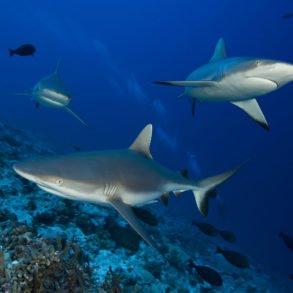 Les requins de Rangiroa. (Photo : © GIE Tahiti Tourisme / Philippe Bacchet)