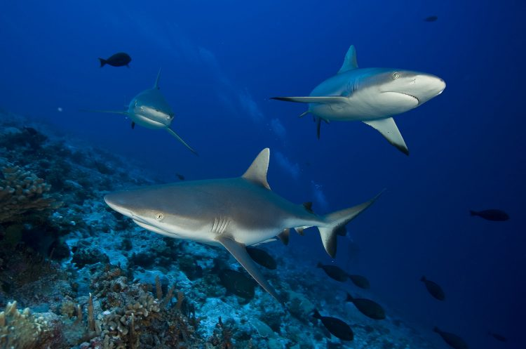 The sharks of Rangiroa. (Photo: © GIE Tahiti Tourism / Philippe Bacchet)