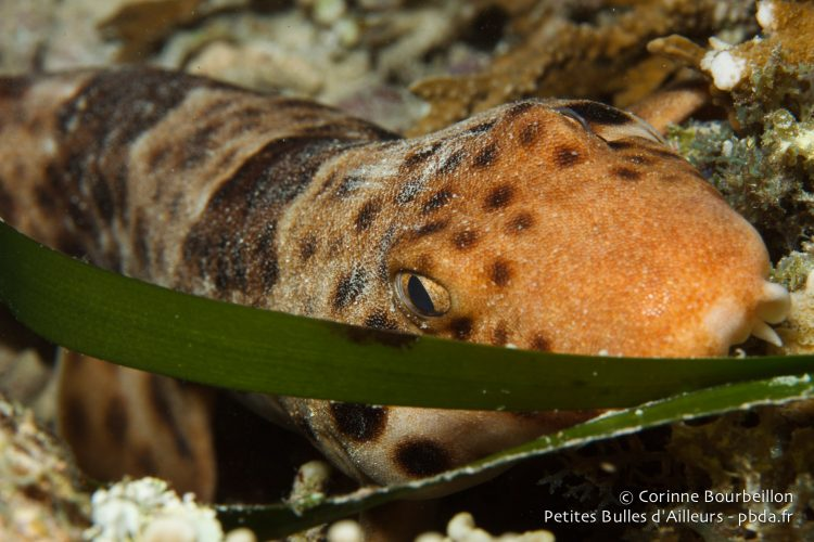 "Bamboo shark ""walker""."
