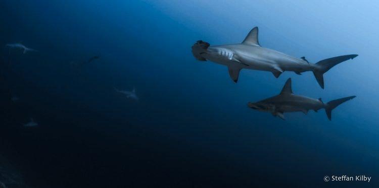 Requins-marteaux. Kurkap Island, Moluques, Indonésie, octobre 2015.