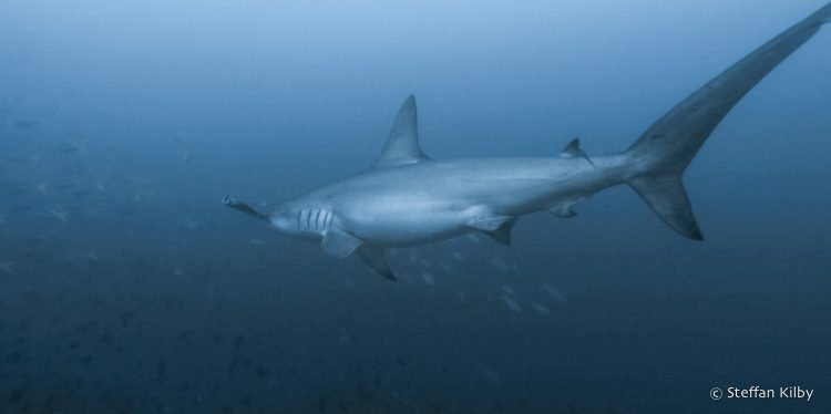 A large shark shark, intimidated, away from divers ... Moluccas, Indonesia, October 2015.