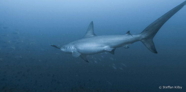 Un gros requin-marqueau, intimidé, s'éloigne des plongeurs... Moluques, Indonésie, octobre 2015.
