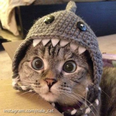 Nala Cat and her shark cap. More than 2.5 million subscribers on Instagram ...
