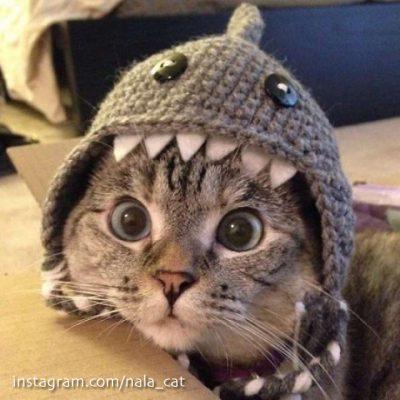 Nala Cat et son bonnet-requin. Plus de 2,5 millions d'abonnés sur Instagram...
