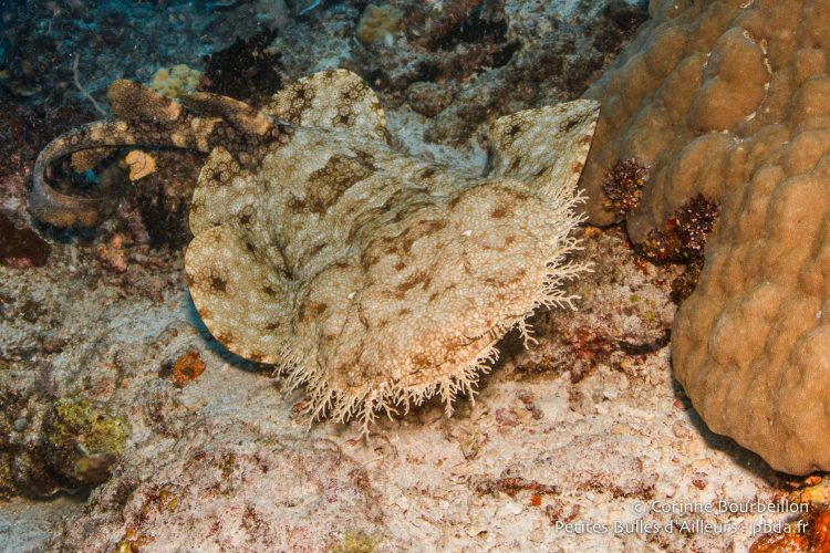 "Wobbegong, or ""bearded carpet shark""."