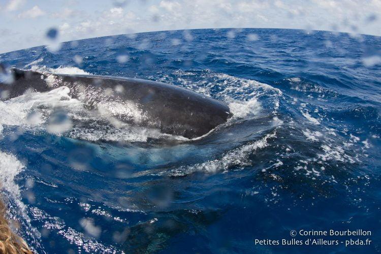Incroyable ! Une baleine a surgi tout près de notre petit bateau de plongée... Maupiti, Polynésie, octobre 2012.