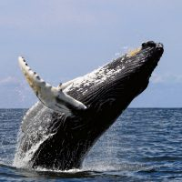 The spectacular jump, out of the water, of a humpback whale. (Photo: Wikimedia)