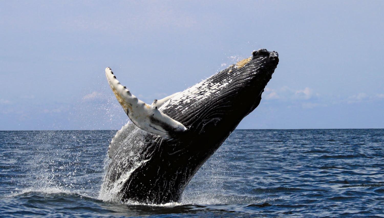 Le spectaculaire saut, hors de l'eau, d'une baleine à bosse. (Photo : Wikimédia)