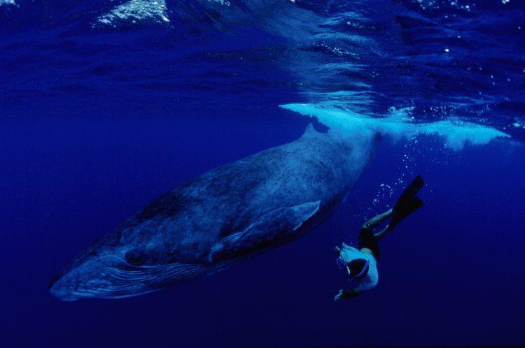 Apneist swimming alongside a whale. (Photo: © GIE Tahiti Tourism / Lionel Pozzoli)