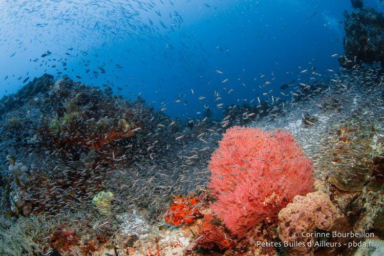 À Misool, il y a des poissons partout ! (Raja Ampat, Papouasie occidentale, Indonésie, novembre 2015.)