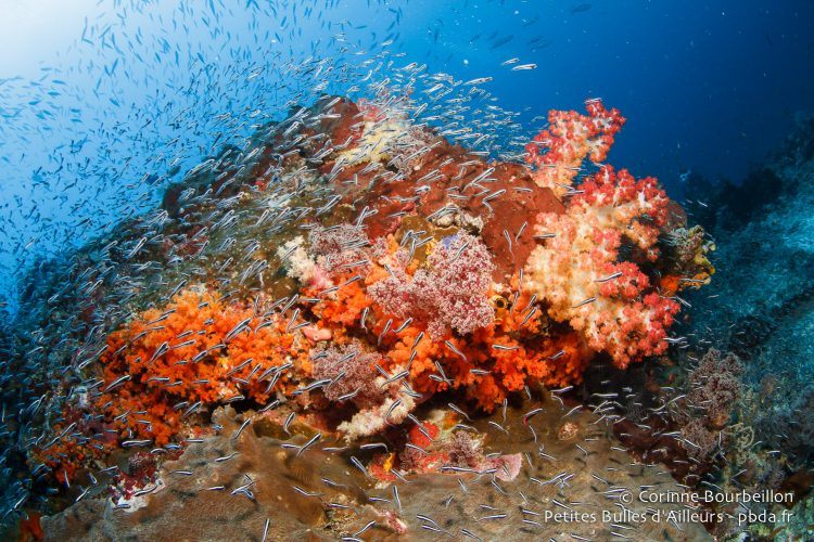 At Misool, there is healthy coral and fish everywhere! (Raja Ampat, West Papua, Indonesia, November 2015.)