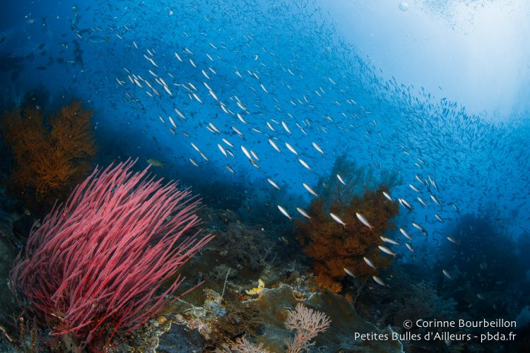 In Misool, there are fish everywhere! (Raja Ampat, West Papua, Indonesia, November 2015.)