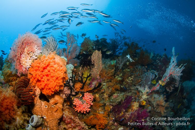 The coral in Misool is sumptuous. (Raja Ampat, West Papua, Indonesia, November 2015.)