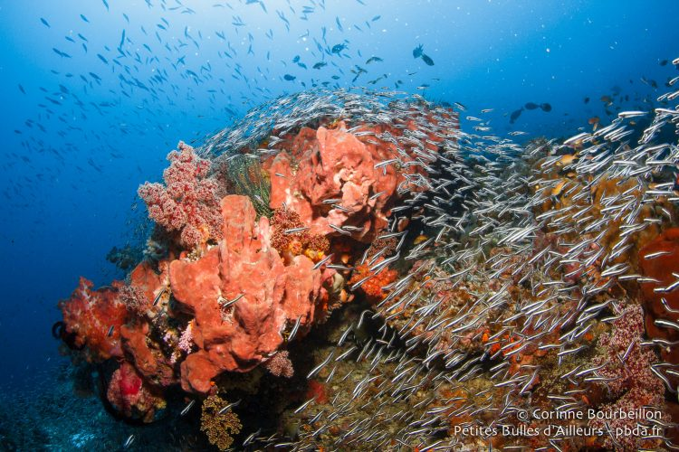 À Misool, il y a du corail pétant de santé et des poissons partout ! (Raja Ampat, Papouasie occidentale, Indonésie, novembre 2015.)
