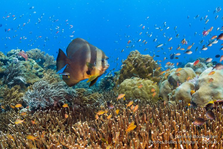 Batfish at Misool. (Raja Ampat, West Papua, Indonesia, November 2015.)
