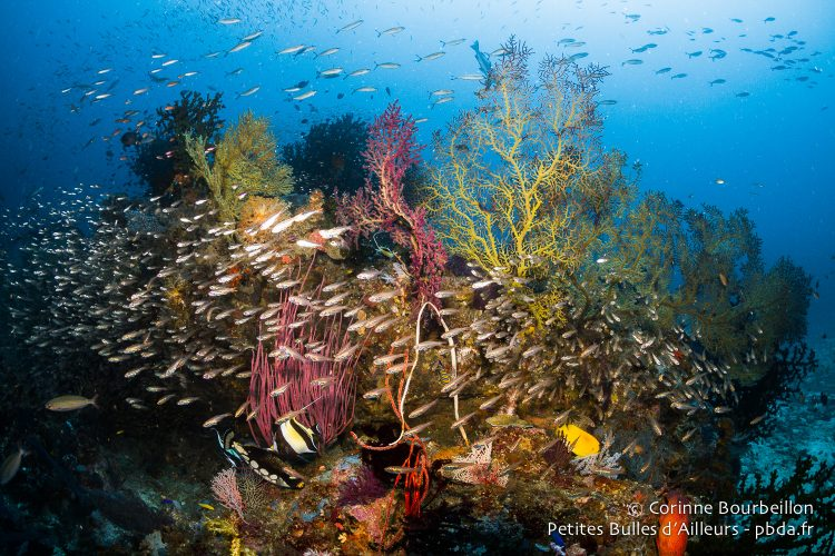 Profusion at Stumpy Rock ... (Triton Bay, West Papua, Indonesia, March 2016.)