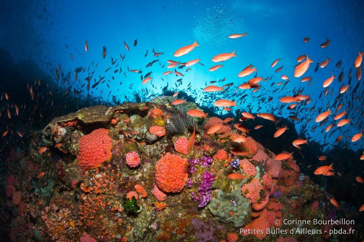Clouds of anthias wriggle over Batu Bolong's coral. (Komodo, Indonesia, July 2016.)