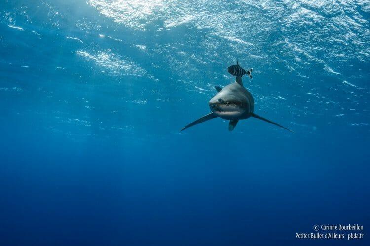 Long-legged shark, Red Sea, Egypt, October 2016.
