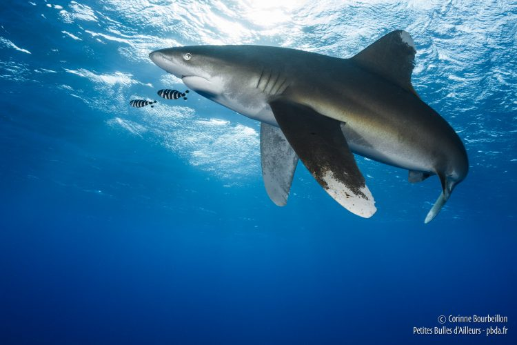 Requin longimane, mer Rouge, Égypte, octobre 2016.