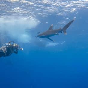 Face à face avec un requin longimane. (Mer Rouge, Égypte, octobre 2016)
