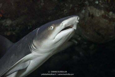 Requin pointe-blanche à Maumere. (Flores, Indonésie. Juillet 2011)