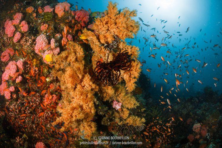 Près de Sombrero Island, au large d'Anilao, le site Beatrice offre une explosion de couleurs et de vie corallienne. (Philippines, mars 2017)