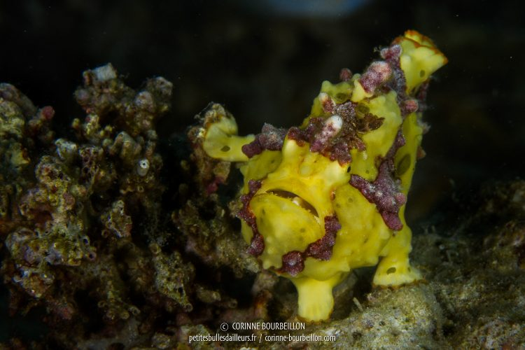 A small toad fish (antennal) clown. (Anilao, Philippines, March 2017)