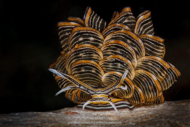 Dans la même famille, Cyerce nigra est une espèce de nudibranche rare, pareillement très recherchée par les photographes sous-marins et que l'on peut observer à Romblon. (Philippines, mars 2017)