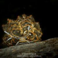 Cyerce nigra est une espèce de nudibranche rare, très recherchée par les photographes sous-marins et que l'on peut observer à Romblon. (Philippines, mars 2017)