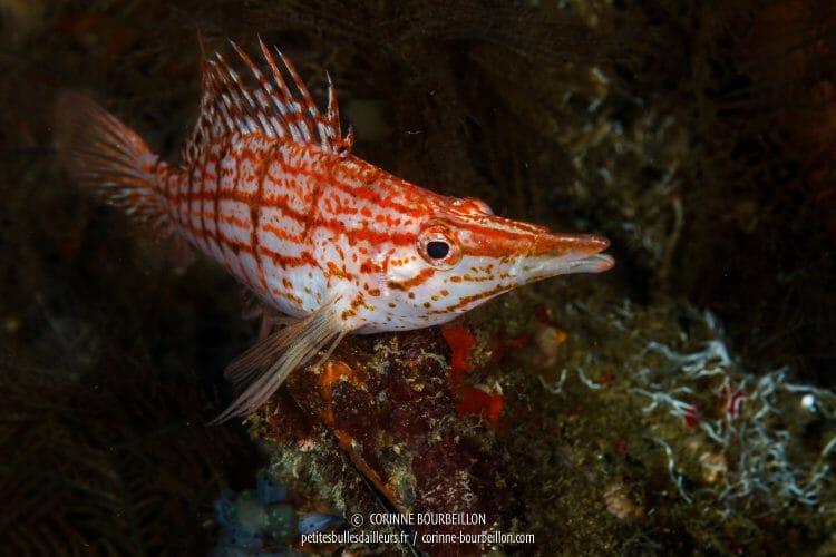 Ce petit poisson très photogénique (Oxycirrhites typus) est joliment appelé bécasse à carreaux ou épervier à nez long. (Anilao, Philippines, mars 2017)