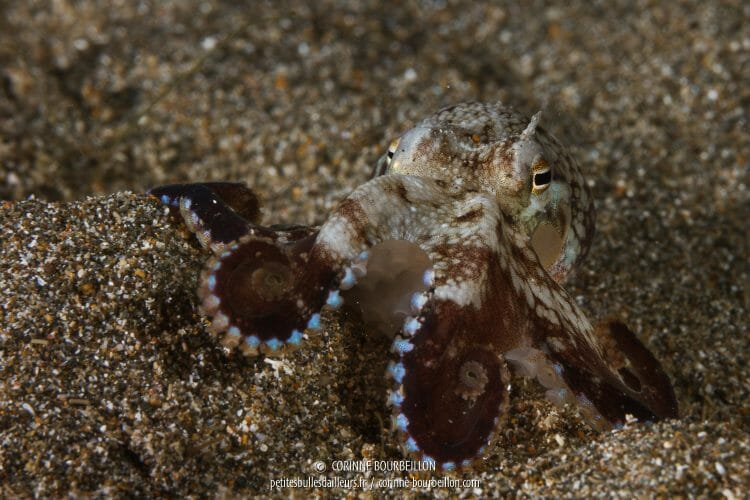 Shot in night diving, this small octopus with blue cupping takes the pose in the gray sand. (Anilao, Philippines, March 2017)
