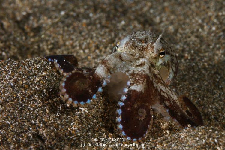 Photographié en plongée de nuit, ce petit poulpe aux ventouses bleu prend la pose dans le sable gris. (Anilao, Philippines, mars 2017)
