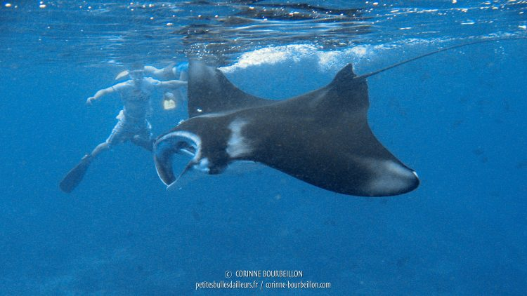 Manta rays are easy to observe in snorkeling. (Sangalaki, Borneo, Indonesia, July 2009)