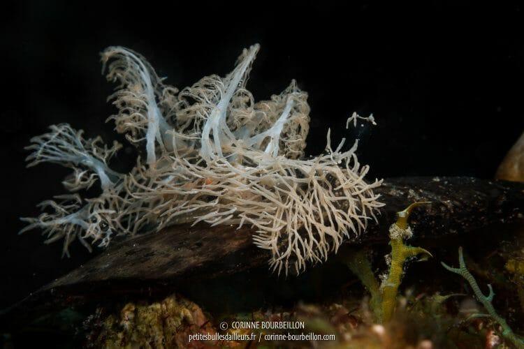 Le Melibe colemani rampe, sa progression est fascinante à observer. (Romblon, Philippines, mars 2017)