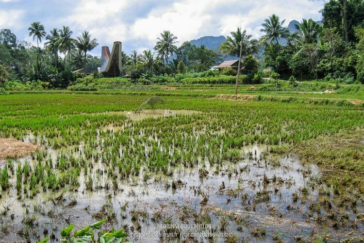 Landscapes of rice fields, between Londa and Tilanga. (Sulawesi, Indonesia, July 2007)