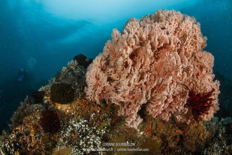Une impressionnante gorgone trône sur le récif de Batu Tekek. (Centre-Sulawesi, Indonésie, juillet 2017)