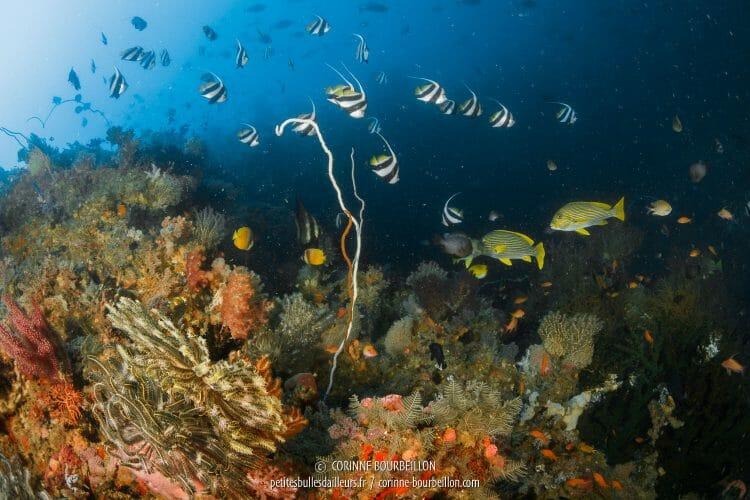 Du corail à foison, des poissons qui frétillent partout... Batu Tekek m'enchante ! (Centre-Sulawesi, Indonésie, juillet 2017)