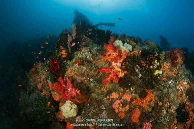 Sur le récif de Batu Tekek, les coraux mous colorés abondent. (Centre-Sulawesi, Indonésie, juillet 2017)