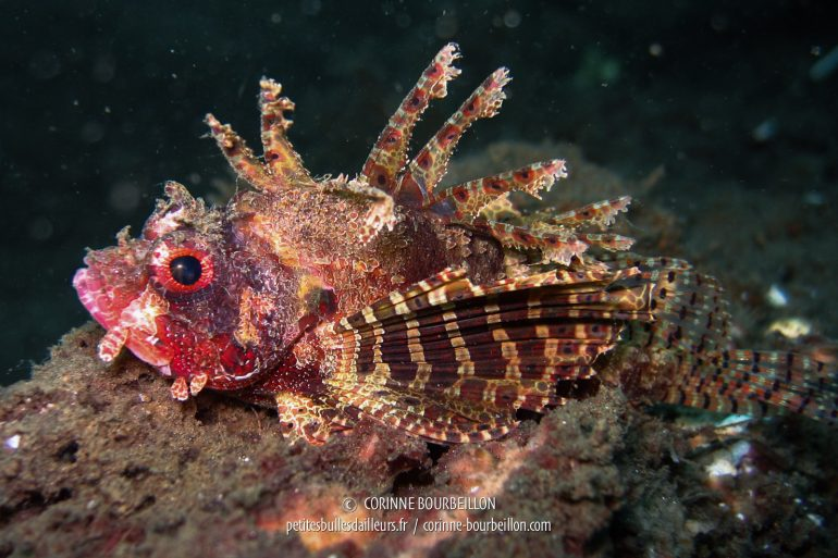 Another scorpion fish, bristling with venomous spines. (Lembeh, Sulawesi, Indonesia)