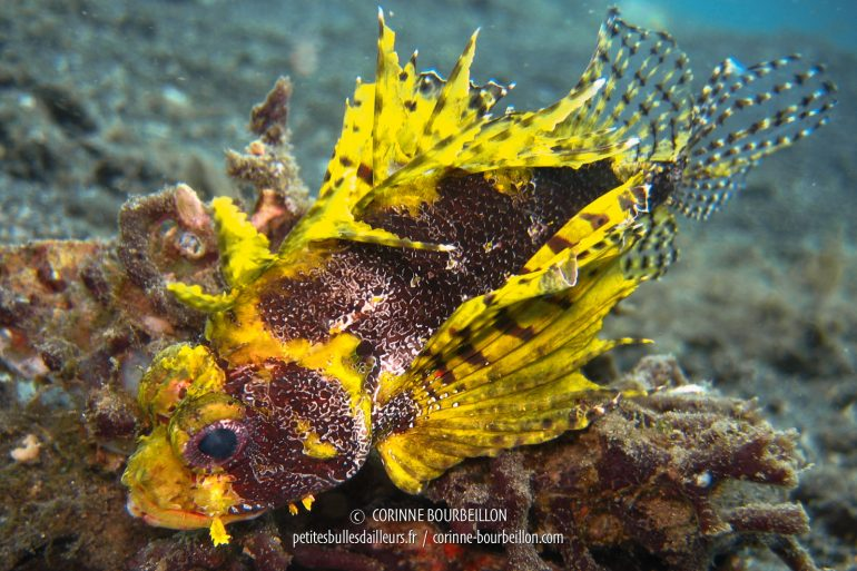 In the family of scorpion fish, I ask for yellow! (Lembeh, Sulawesi, Indonesia, July 2007)