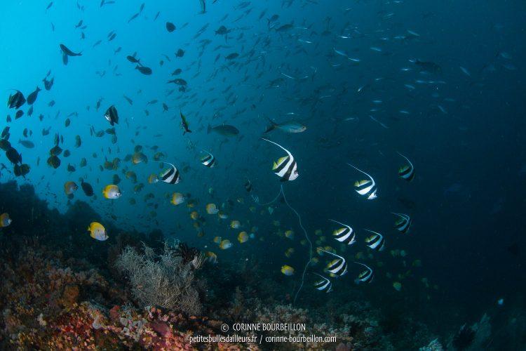 Au site de Batu Gong, l'un de mes préférés, des nuées de poissons-cochers frétillent dans le courant. (Kampanar, Centre-Sulawesi, Indonésie, juillet 2017)