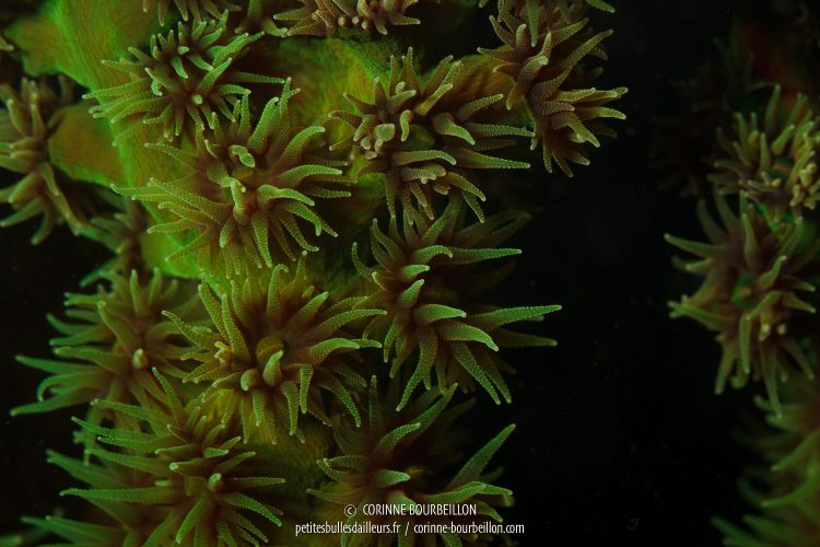 Polypes de corail. Site : Ali Baba, Kampanar. (Centre-Sulawesi, Indonésie, juillet 2017)